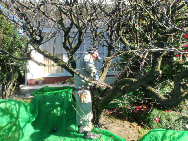 梅の木の剪定1