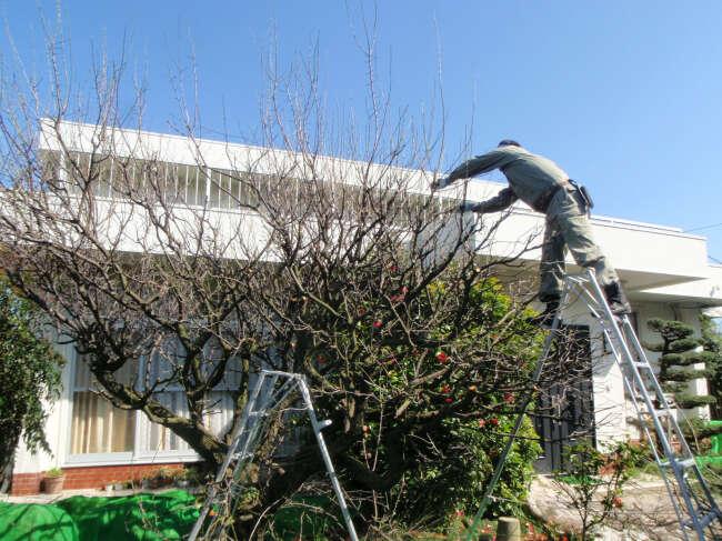 梅の木の剪定2