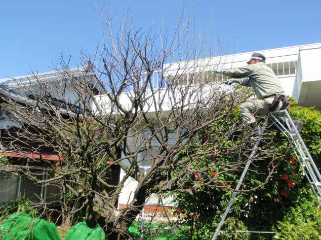 梅の木の剪定3