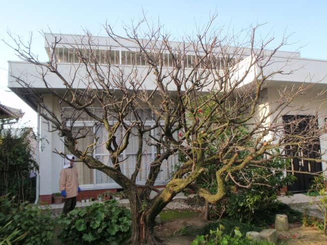梅の木の剪定4